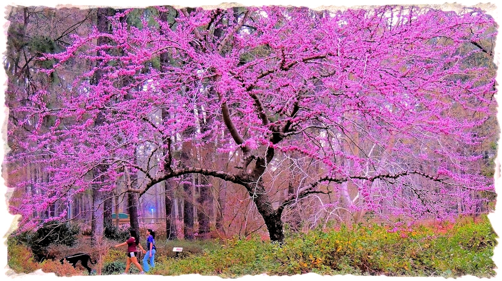 Redbud Tree on the Circle Ring at Ruby Mize Azalea Garden in Historic Nacogdoches