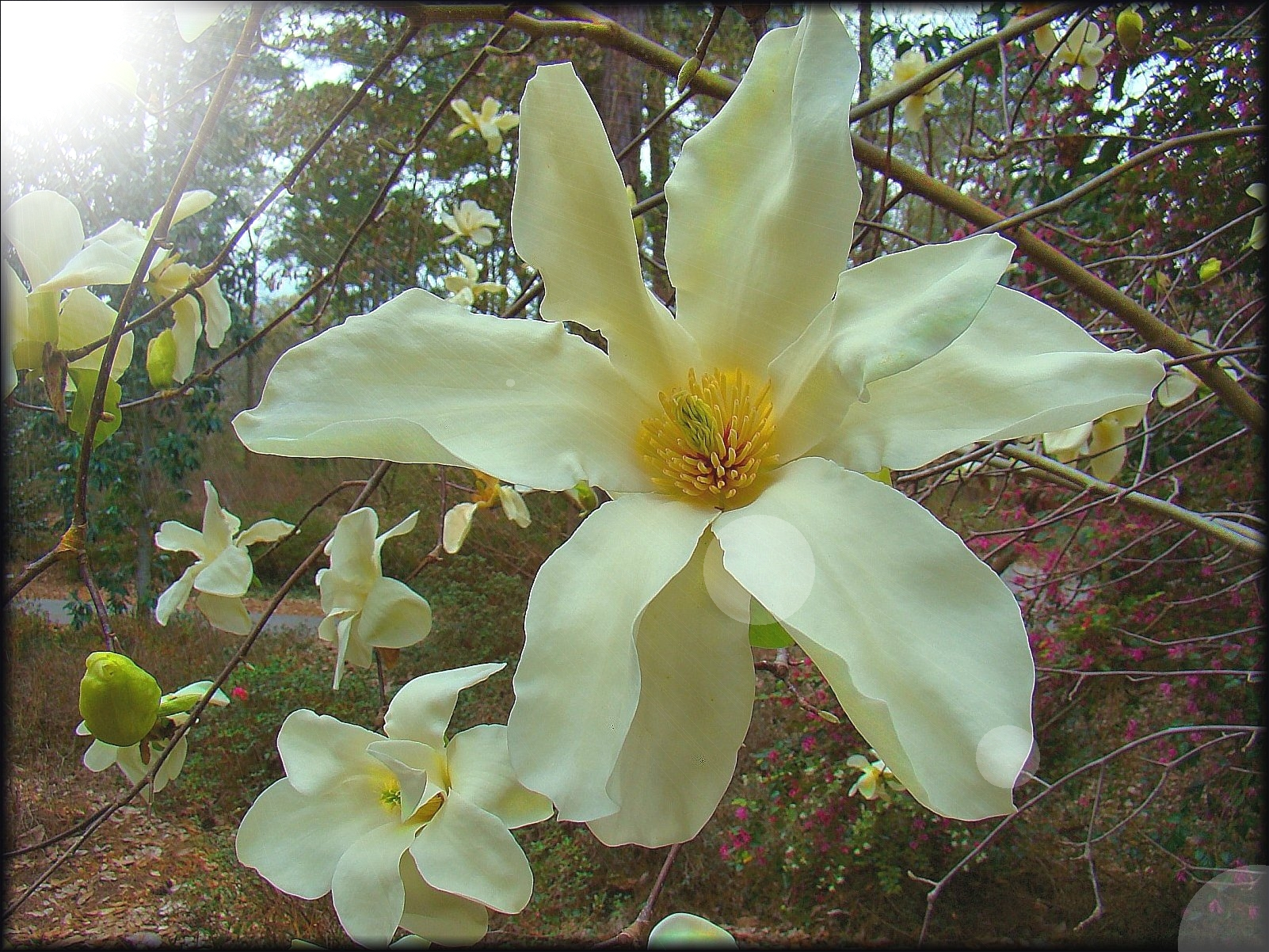 The Sunray Magnolia at Mize Azalea Garden