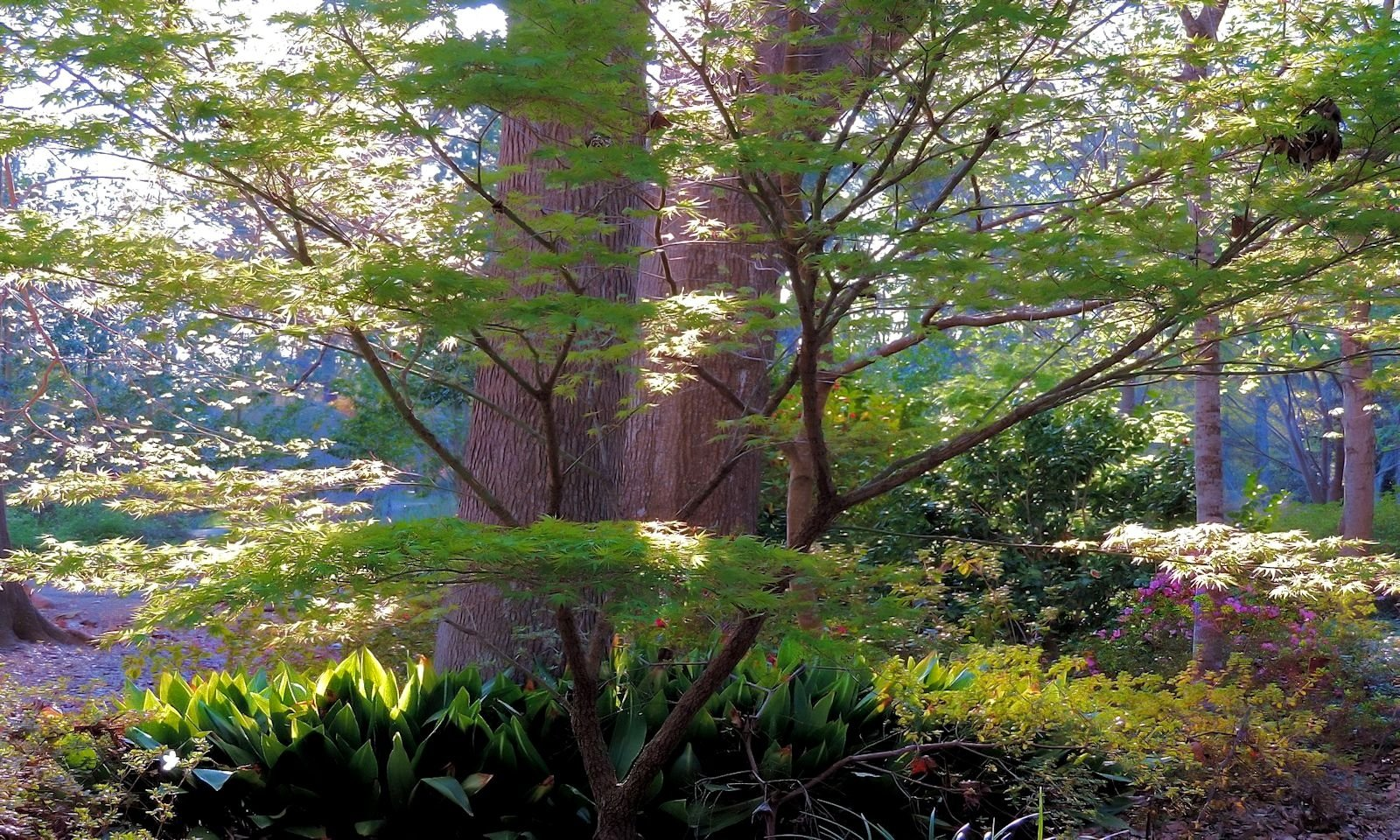 The Nishiki Gawa Japanese Maple At Mize Azalea Garden In Historic