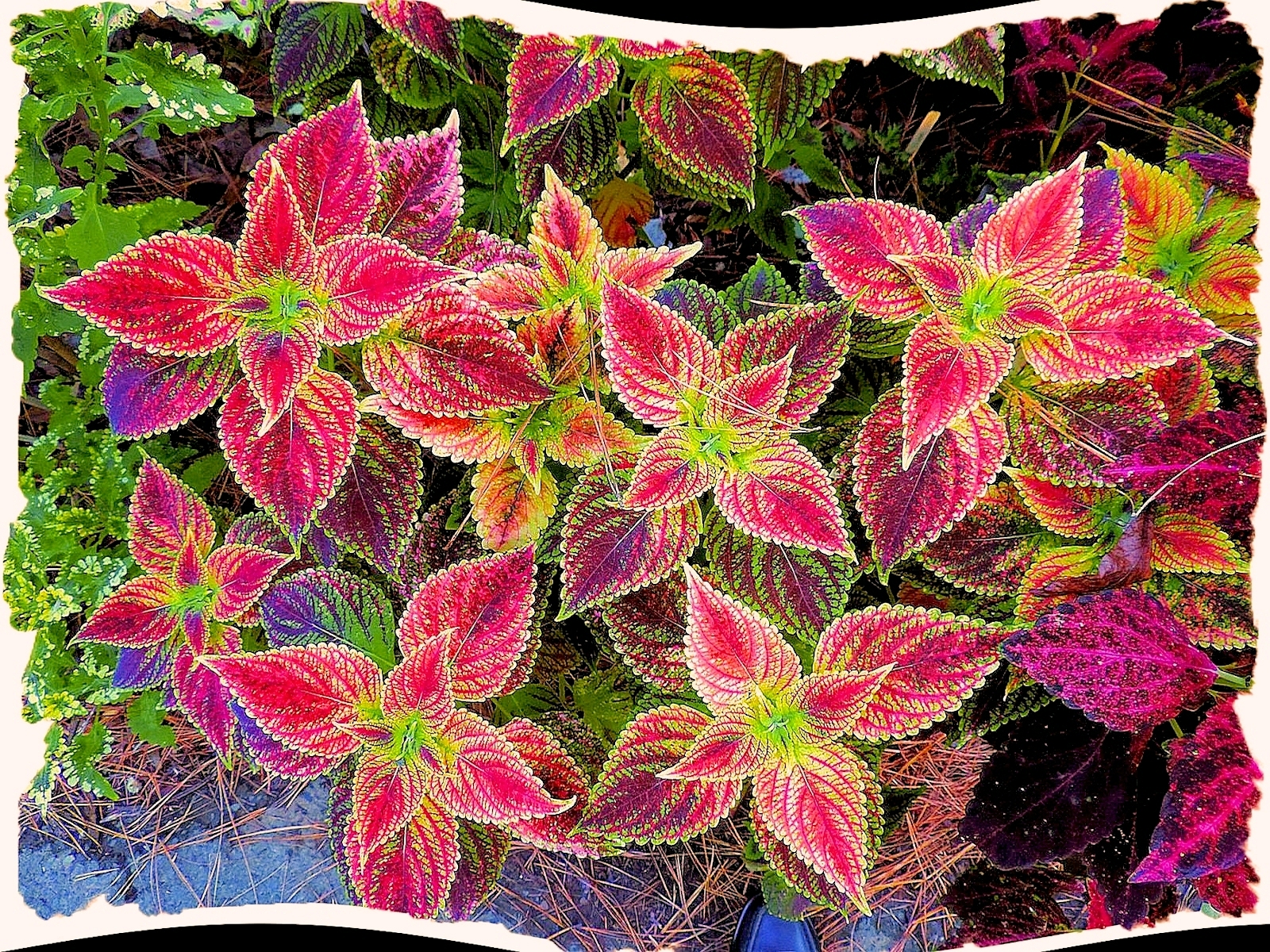 Color Patterns in the leaves of a Coleus Plants in the Shade Garden