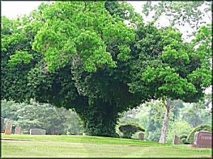 A Vine Covered Tree at Oak Grove Cemetery