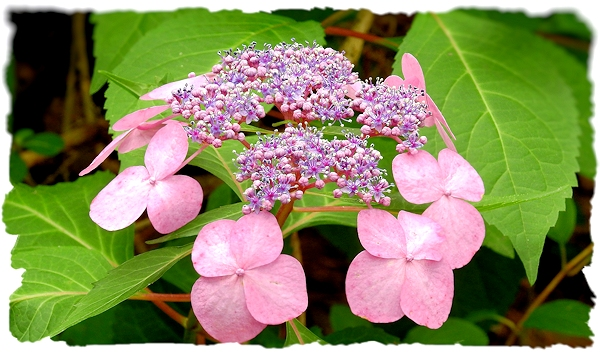 Detail of a Hydrangea in the Shade Garden