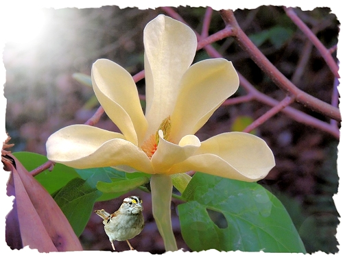 Golden Sun Magnolia in the Shade Garden
