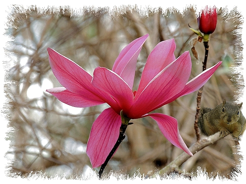 Orchid Saucer Magnolia in the Shade Garden
