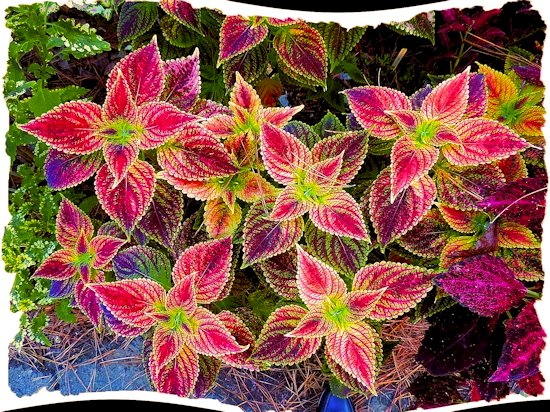 Color Patterns in the Leaves of a Coleus Plant in the Shade Garden