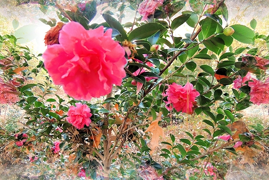 The Rose of Autumn Camellia in the Shade Garden