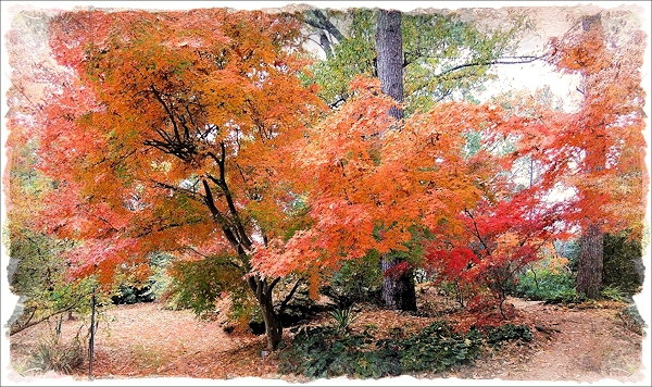 The Deshojo Japanese Maple in the Shade Garden