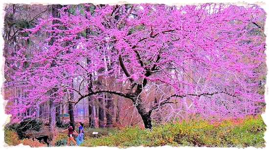 Redbud Tree on the Circle Ring