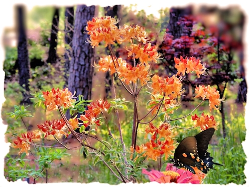 The Stonewall Jackson Azalea at Gayla Mize Garden
